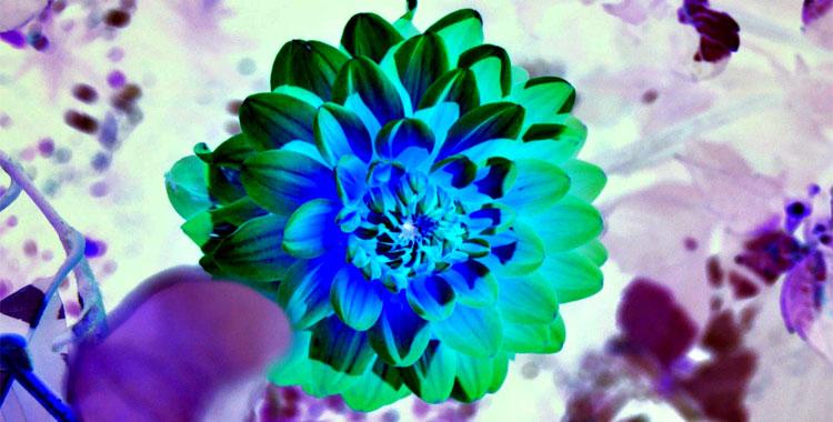 Foto di un fiore con colori invertiti o effetto negativo
